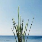Sea Grass image